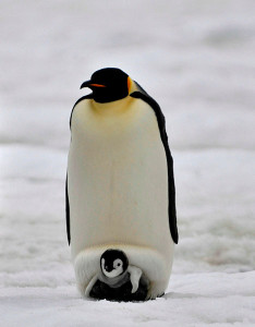 Emperor Penguins: Dad keeping baby warm. Photo: ~laogephoto
